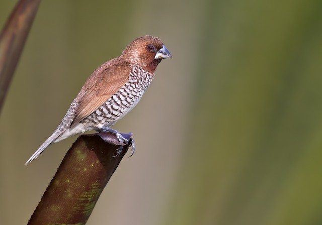 Scaly-breasted Munia (Scaled)