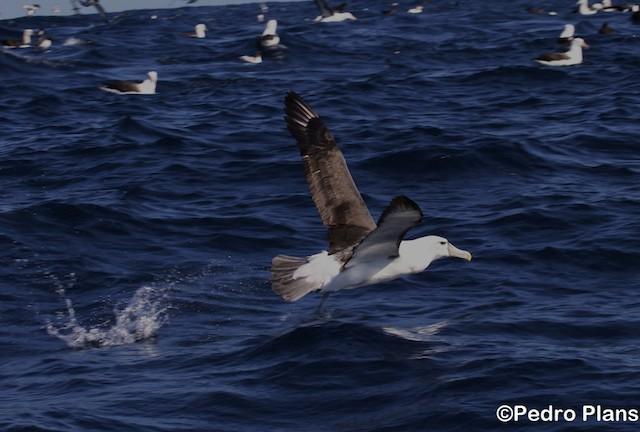 White-capped Albatross (cauta)