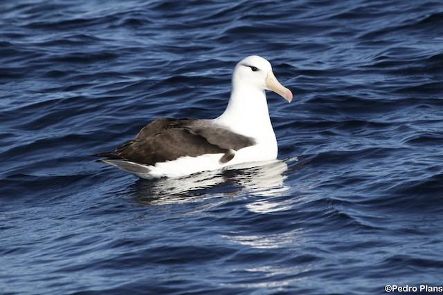 Black-browed Albatross (Black-browed)