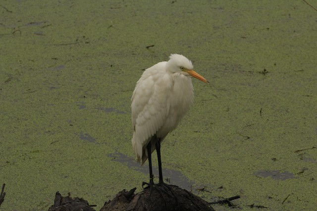 Intermediate Egret (Intermediate)