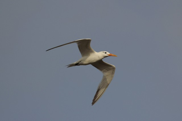 Royal Tern (African)