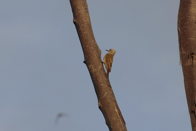 African Gray Woodpecker (Gray)