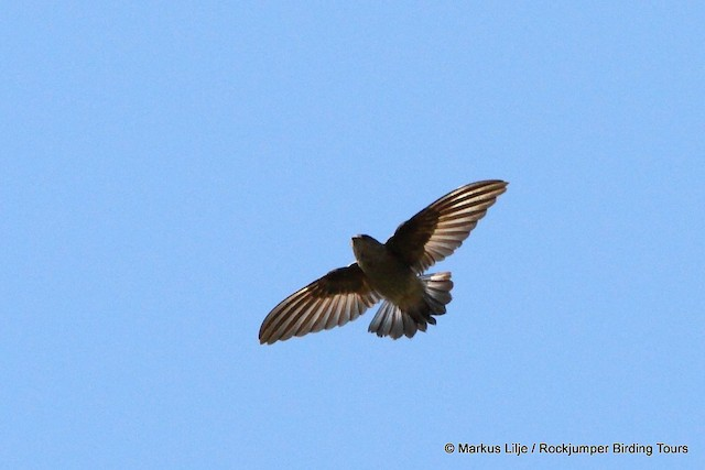 Malagasy Spinetail