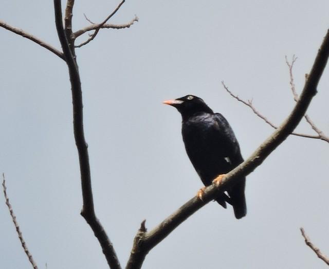 Sri Lanka Myna