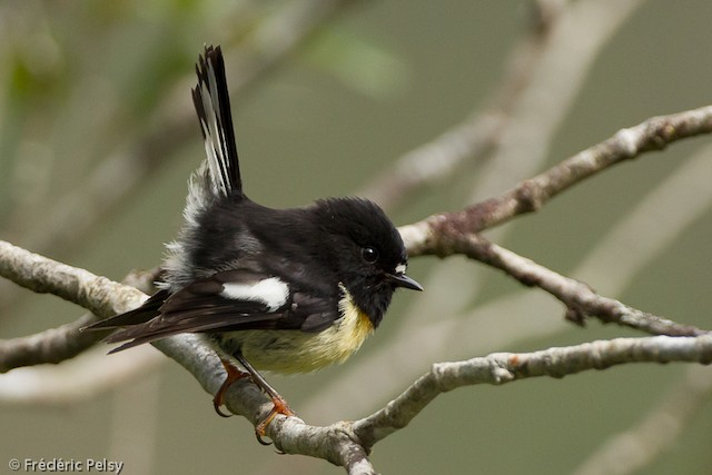 Tomtit (New Zealand)
