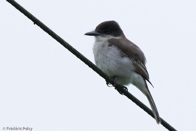 Loggerhead Kingbird (Puerto Rican)