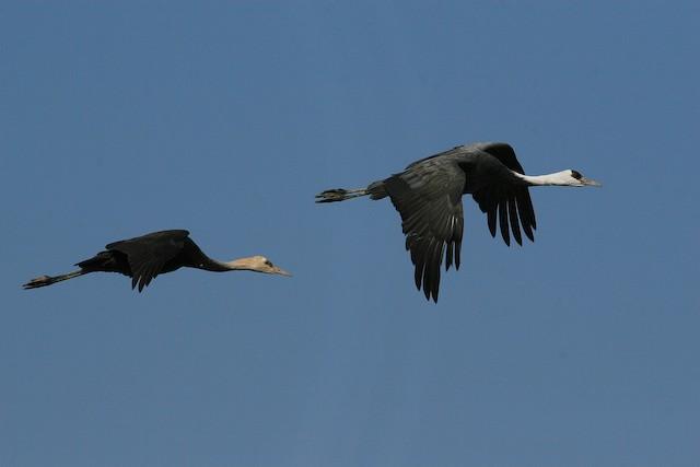 Hooded Crane