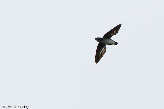Papuan Spinetailed Swift