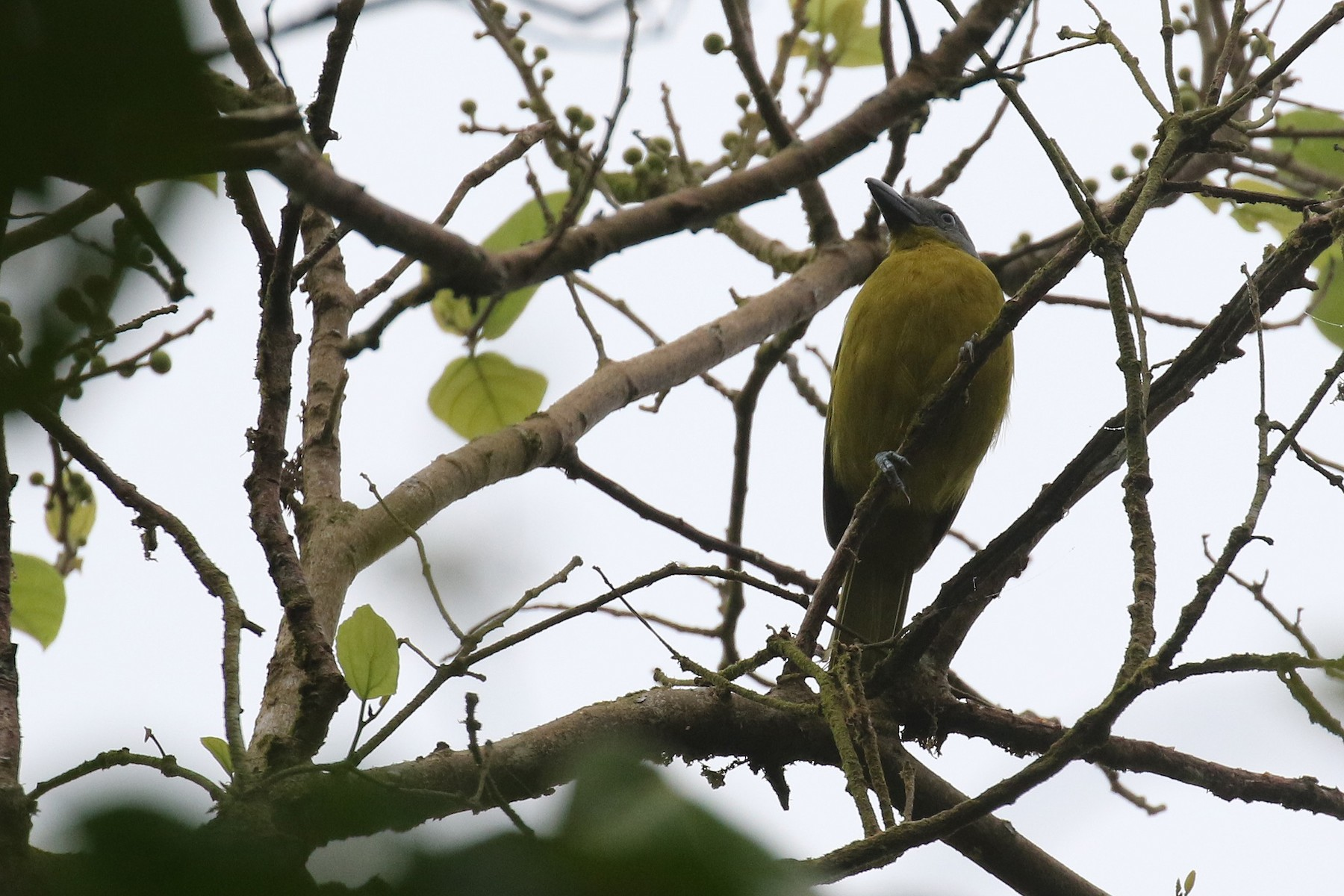 Green-breasted Bushshrike - Stu Elsom