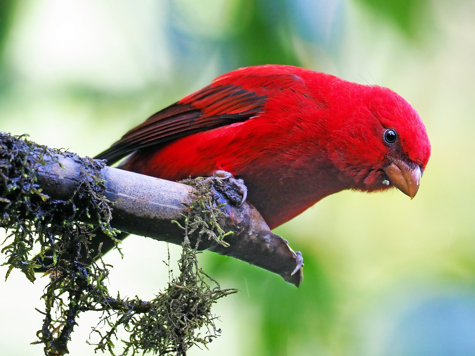 Scarlet Finch - Andrew Spencer