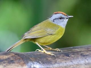 - Russet-crowned Warbler