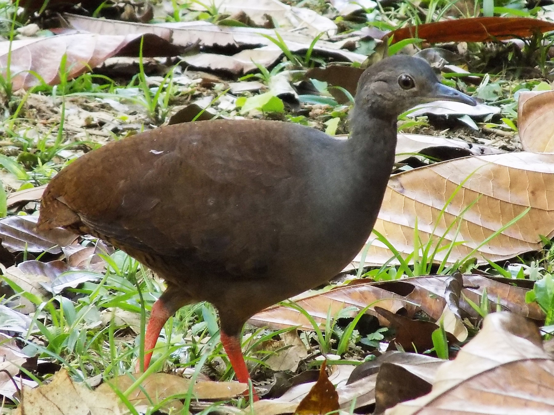 Slaty-breasted Tinamou - Basilio Mes /  Belize Bird Guide