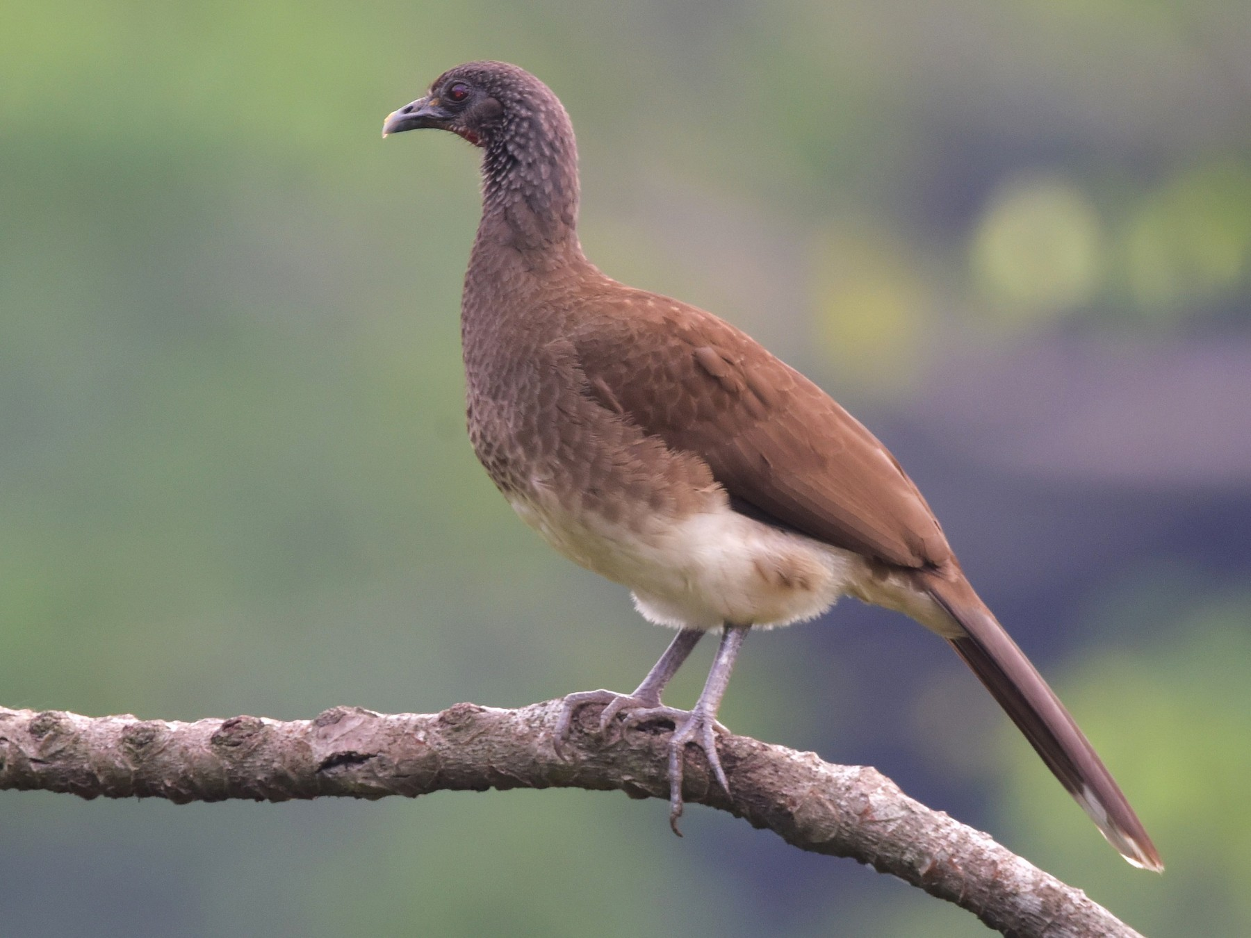 White-bellied Chachalaca - Curtis  McCamy