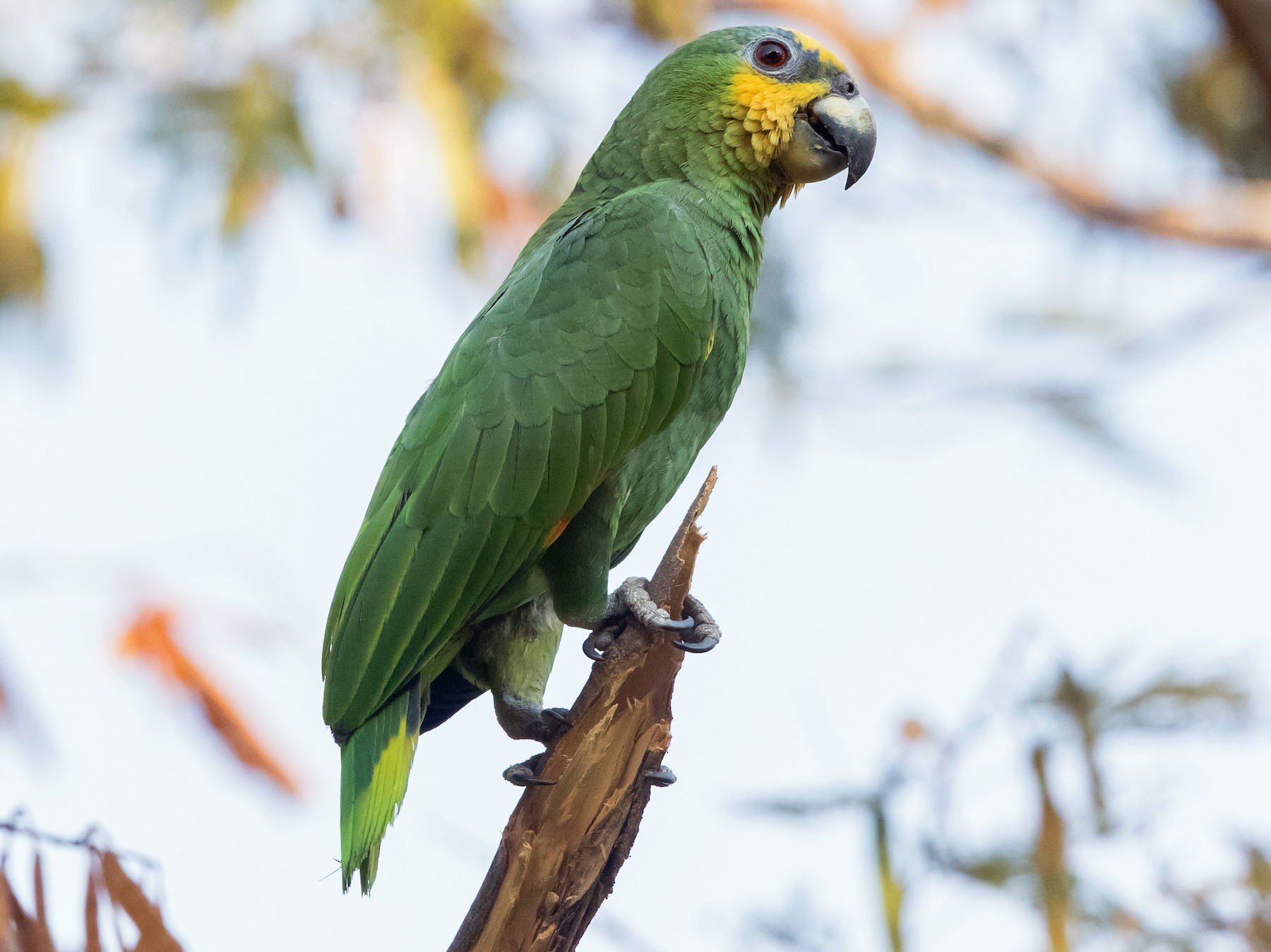Orange-winged Parrot - John Nolley