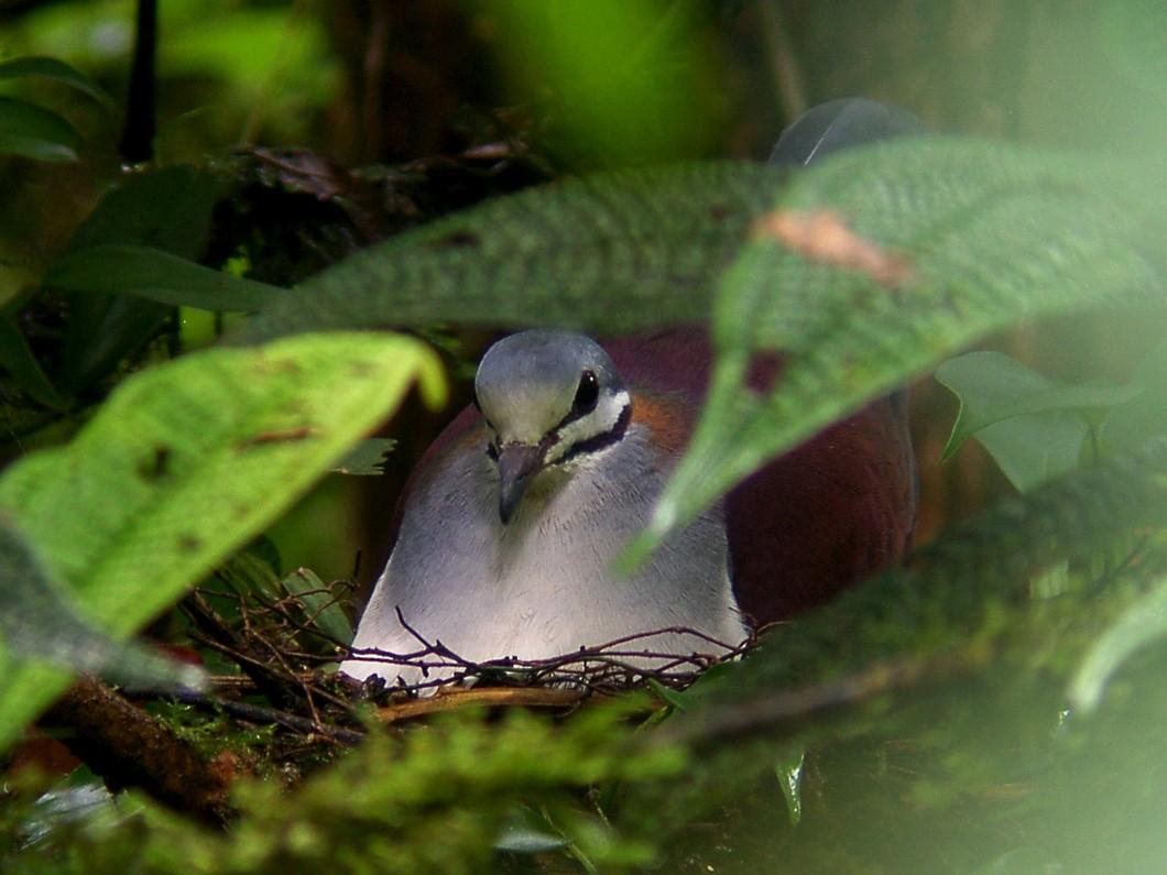 Sapphire Quail-Dove - Scott Olmstead
