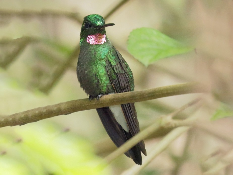 Pink-throated Brilliant - Carlos Calle Quispe