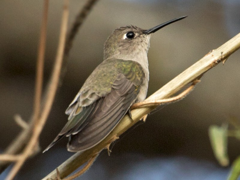 Tumbes Hummingbird - Sam Woods