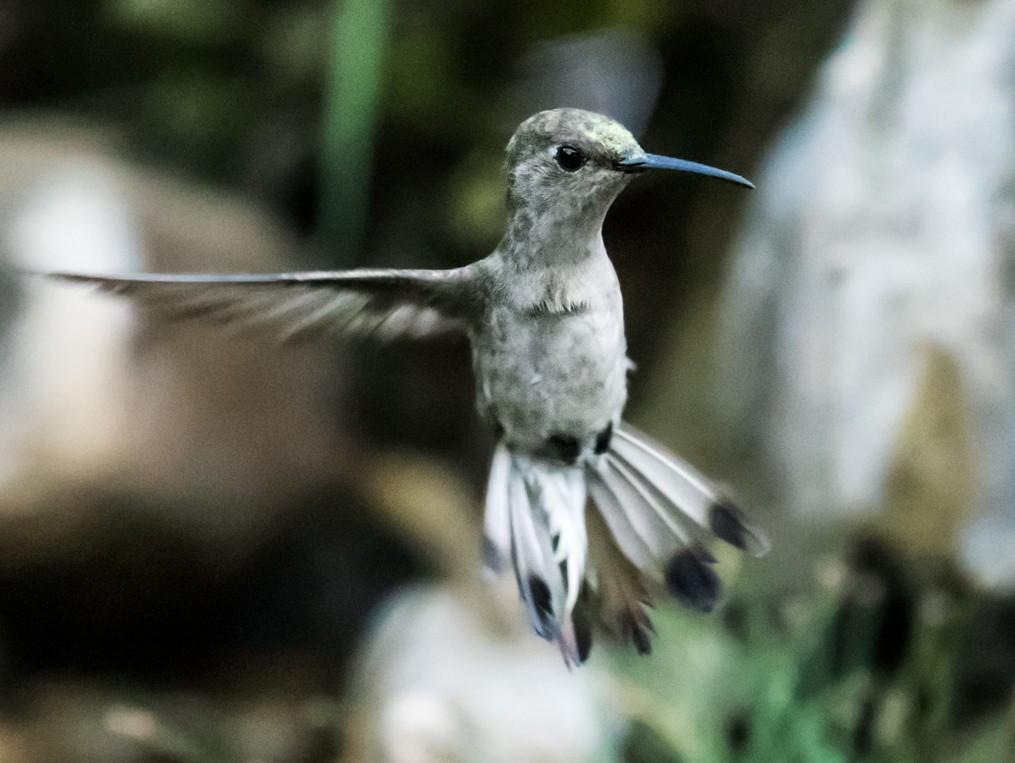 Tumbes Hummingbird - Nick Athanas