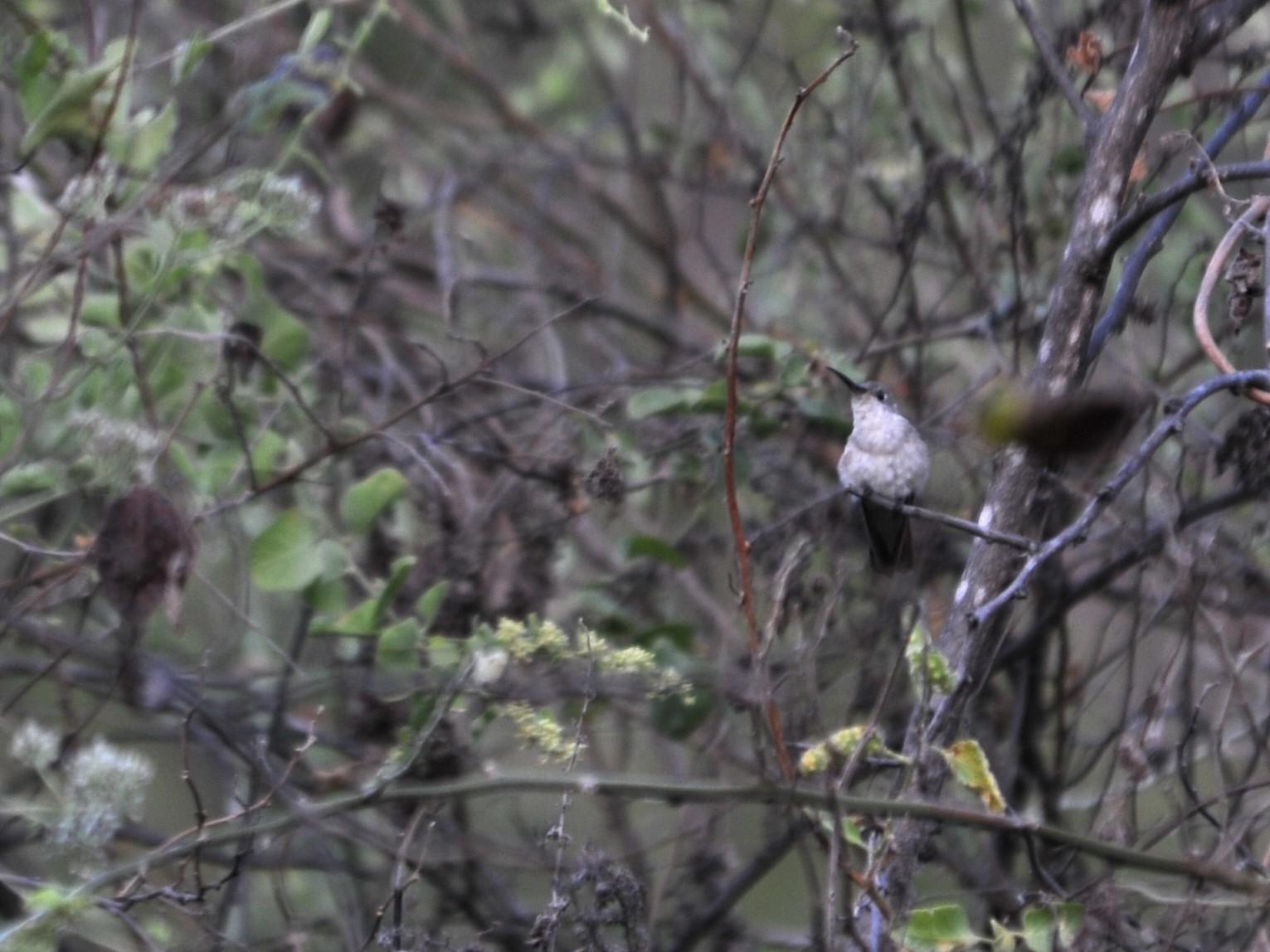 Tumbes Hummingbird - Alan Van Norman