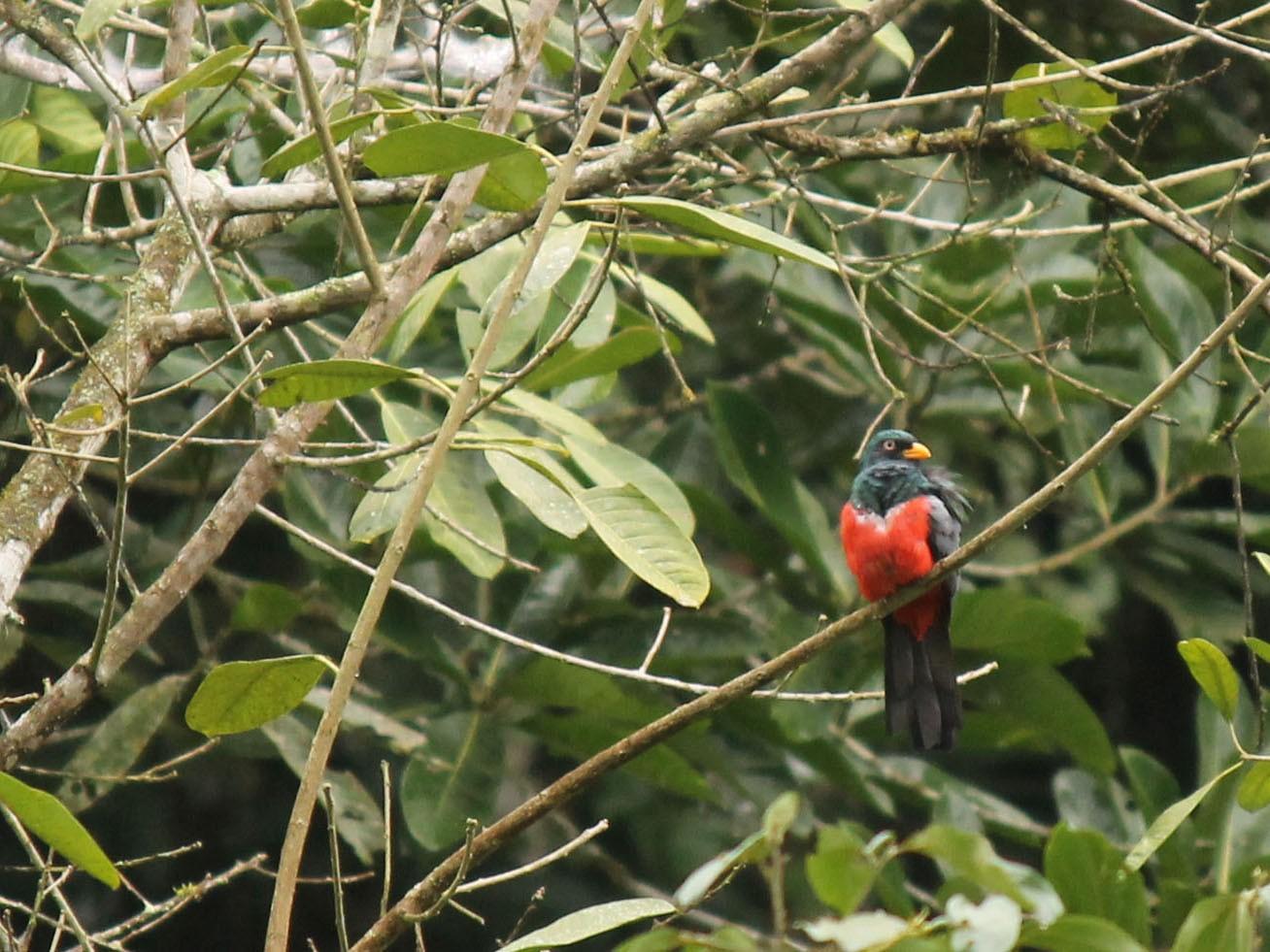 Ecuadorian Trogon - Corrie Winter