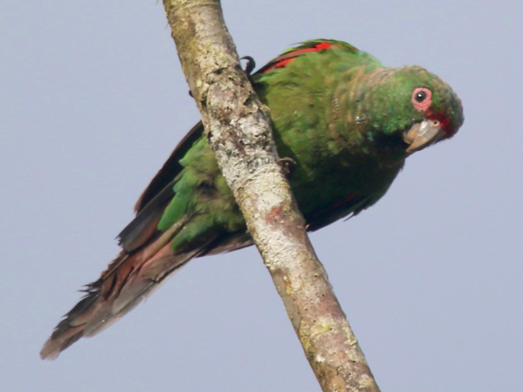 El Oro Parakeet - Gil Ewing