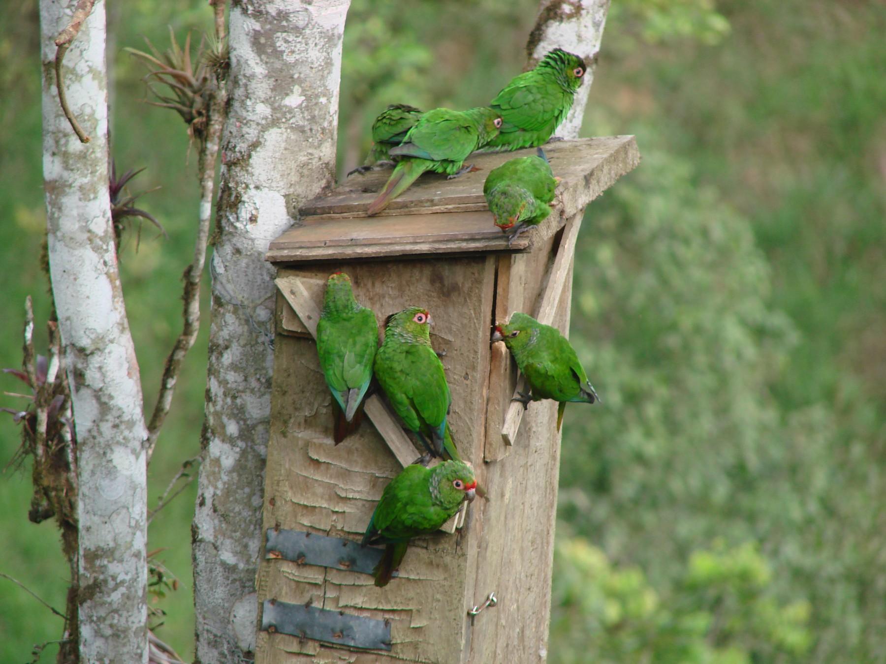 El Oro Parakeet - bertram hickman