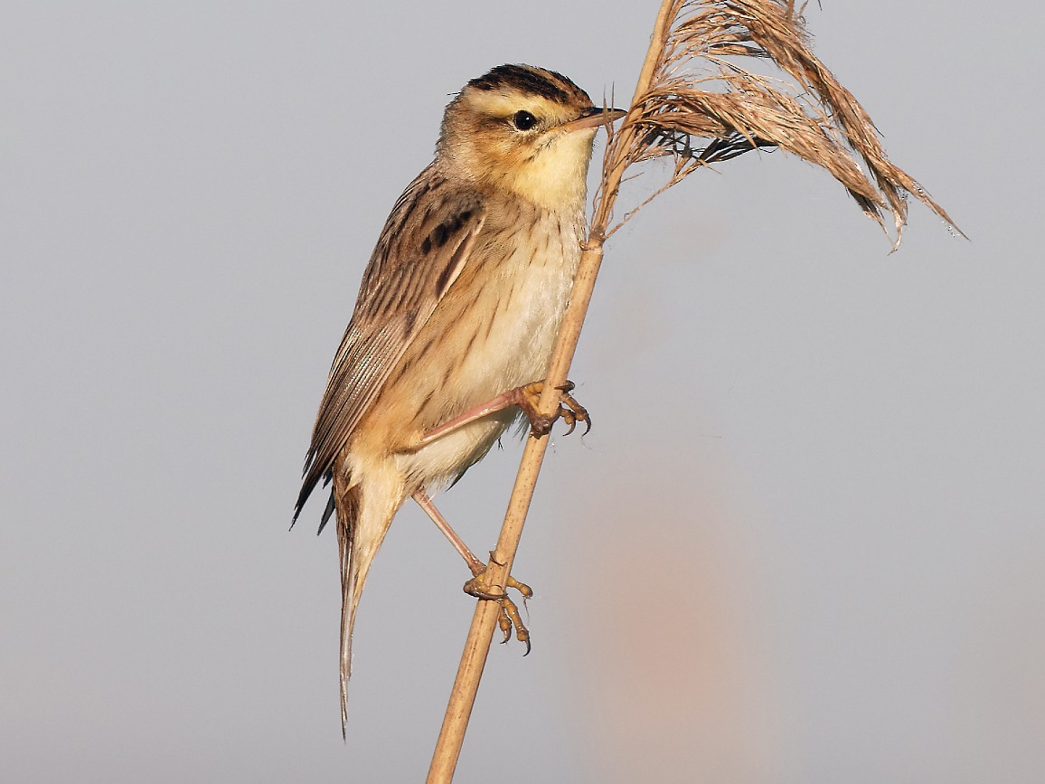Aquatic Warbler - David Wright