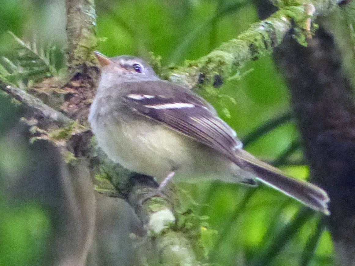 Gray-breasted Flycatcher - Eamon Corbett