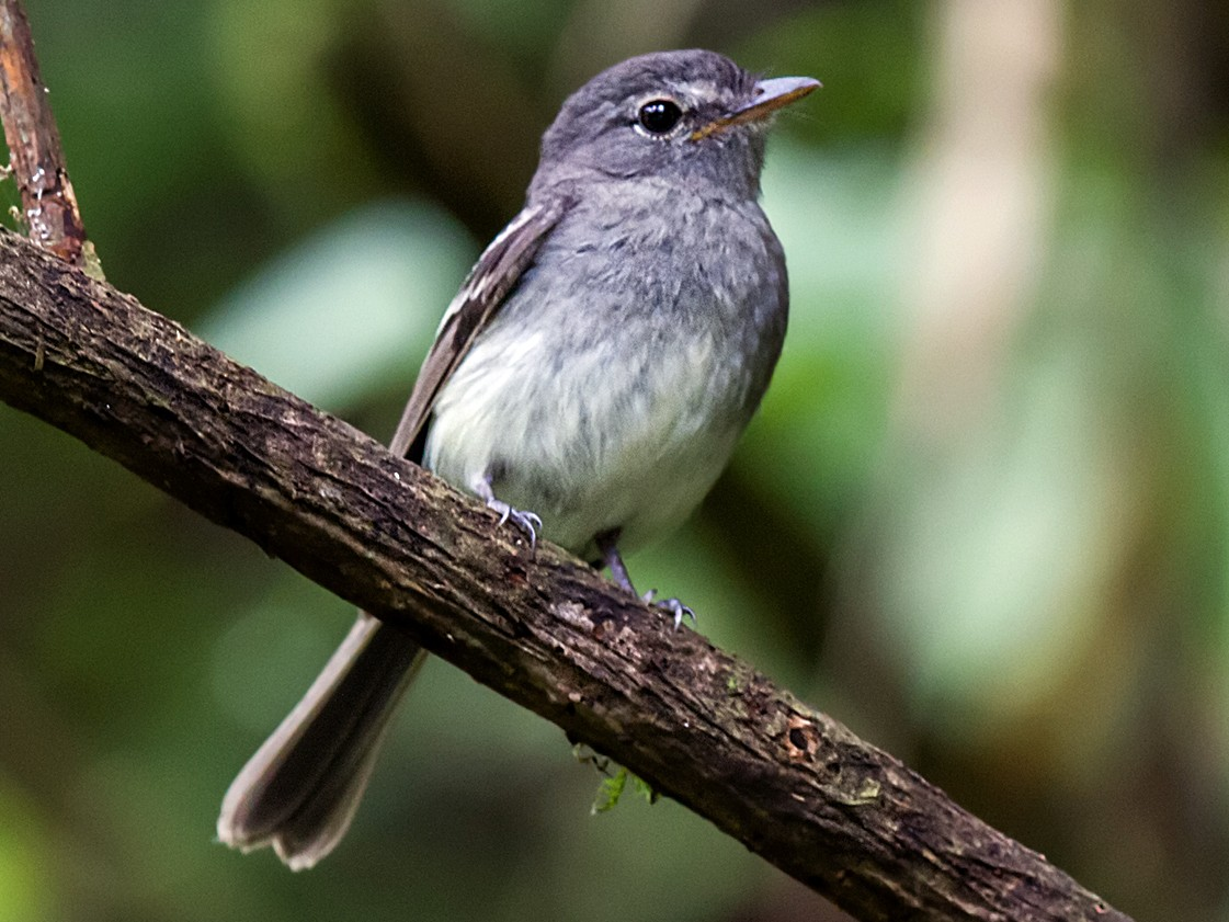 Gray-breasted Flycatcher - Nick Athanas