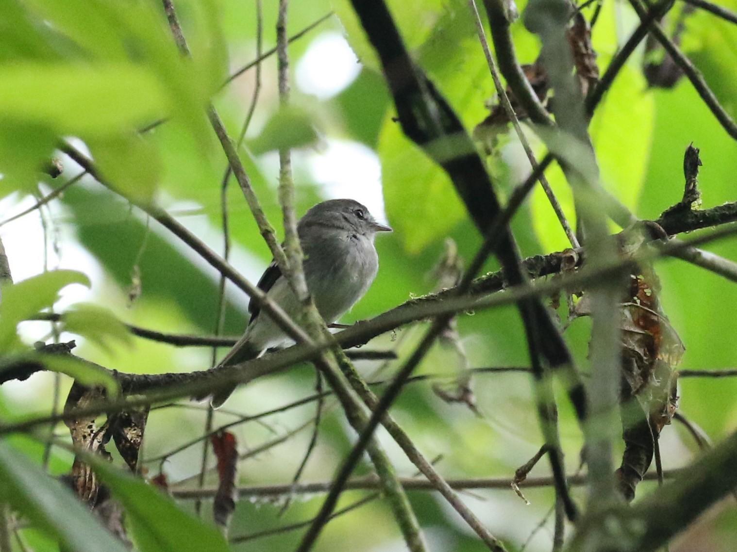 Gray-breasted Flycatcher - Carol Ortenzio