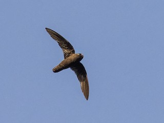 - Spot-fronted Swift