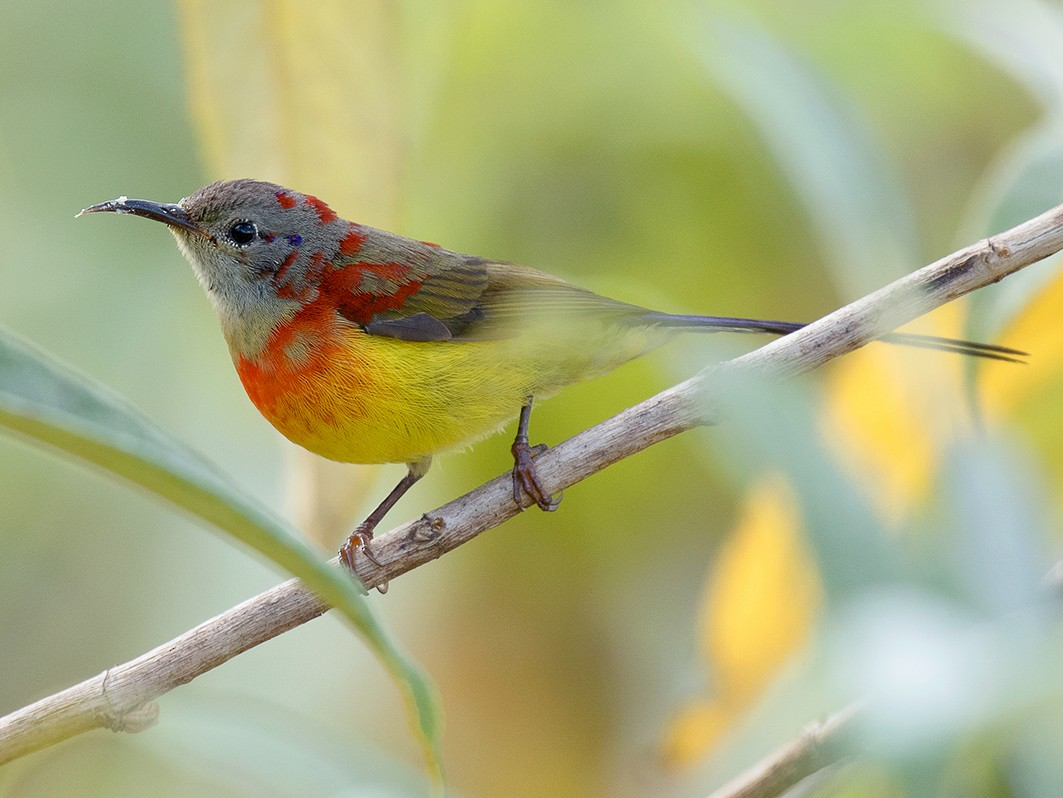 Mrs. Gould's Sunbird - Ayuwat Jearwattanakanok
