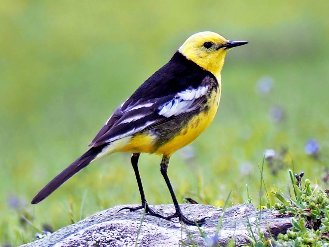 Citrine Wagtail - Andrew Spencer