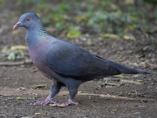 - Bolle's Pigeon