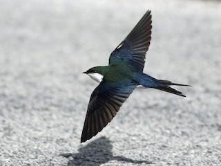 - Bahama Swallow