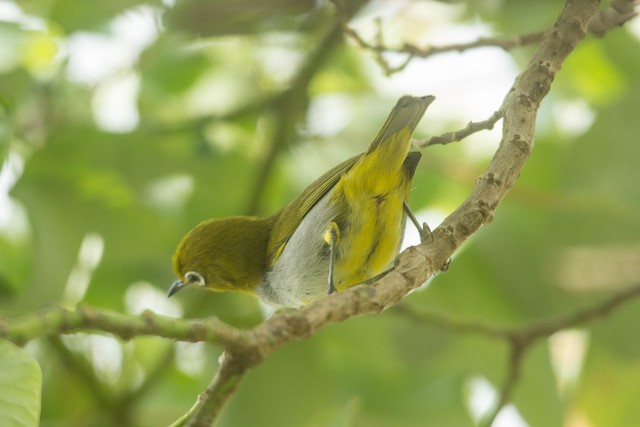 Everett's White-eye
