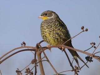 - Swallow-tailed Cotinga