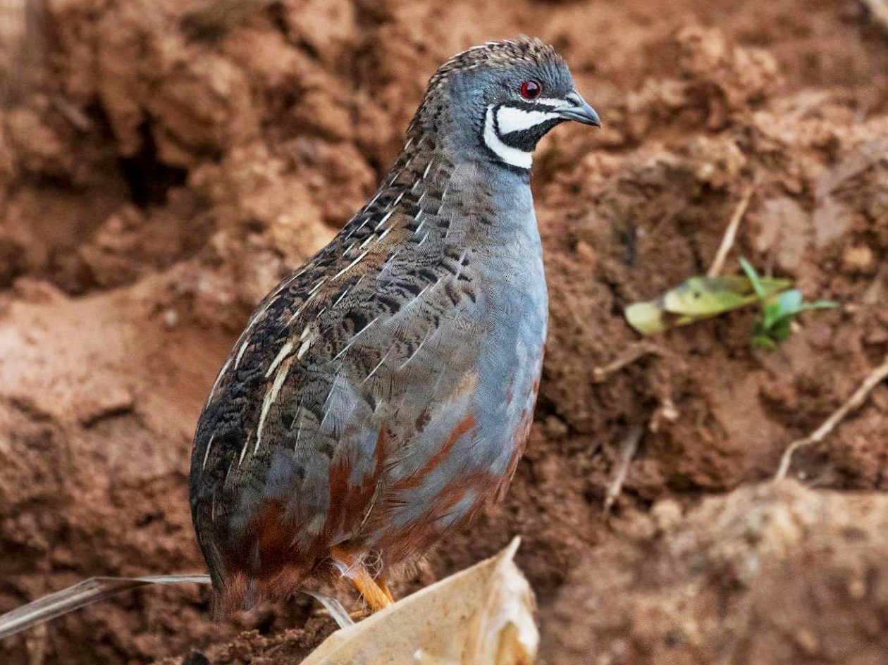 Blue-breasted Quail - Arnold Goveas