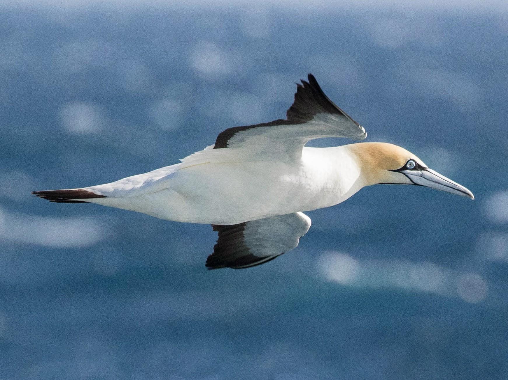 Cape Gannet - Eric VanderWerf