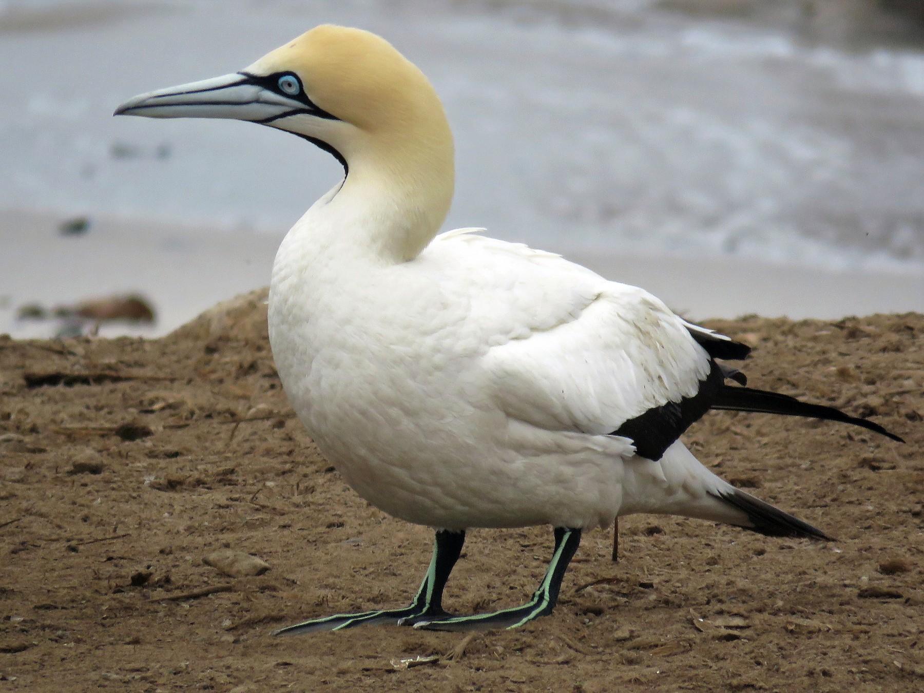 Cape Gannet - Nicholas Fordyce