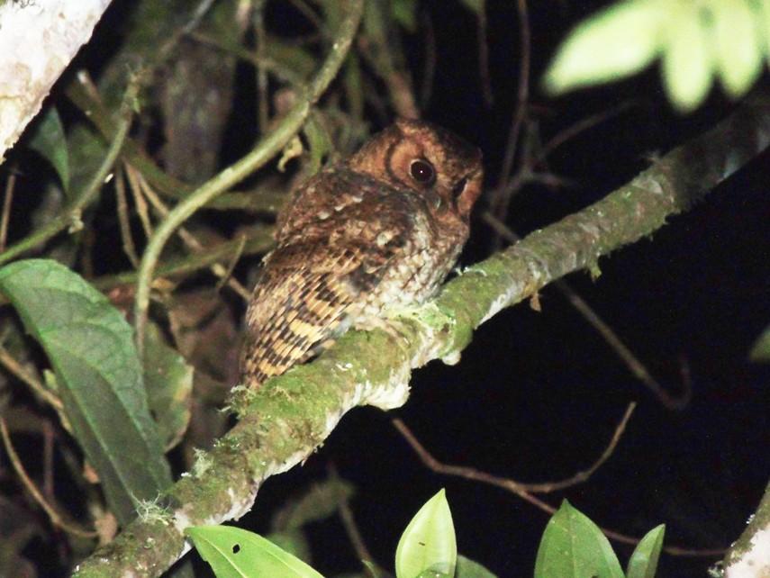 Cloud-forest Screech-Owl - Jorge Tiravanti
