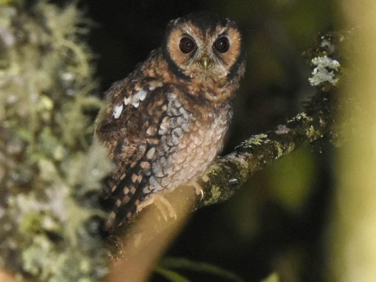 Cloud-forest Screech-Owl - Tini & Jacob Wijpkema