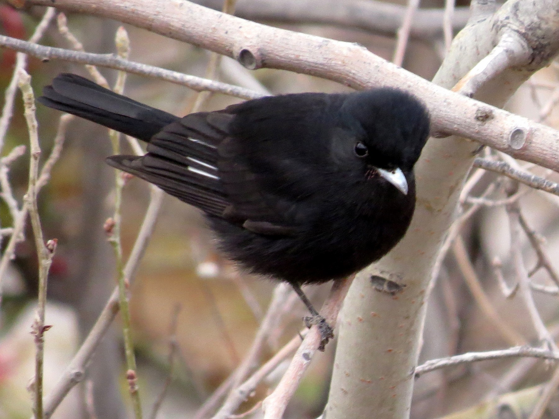White-winged Black-Tyrant - Andrew Cameron