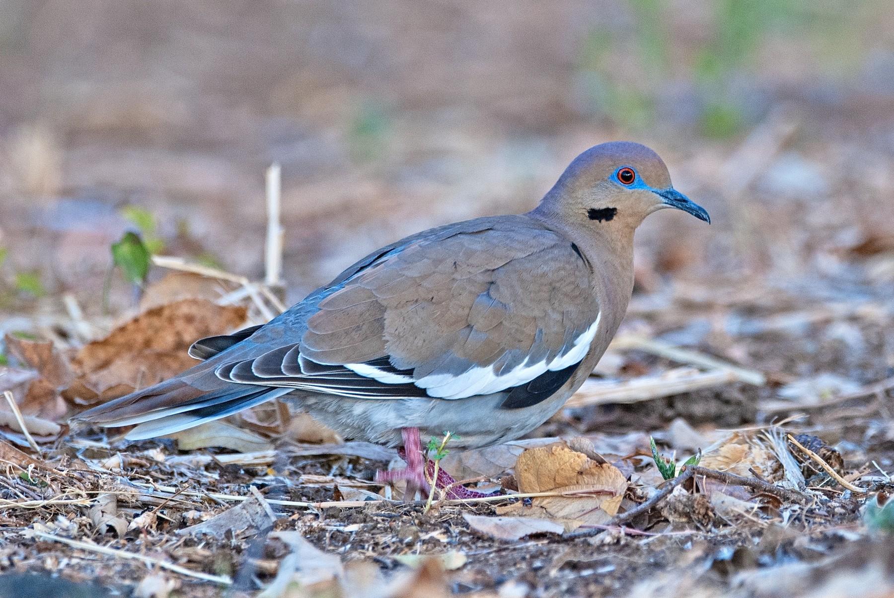 White-winged Dove - Andrew Simon
