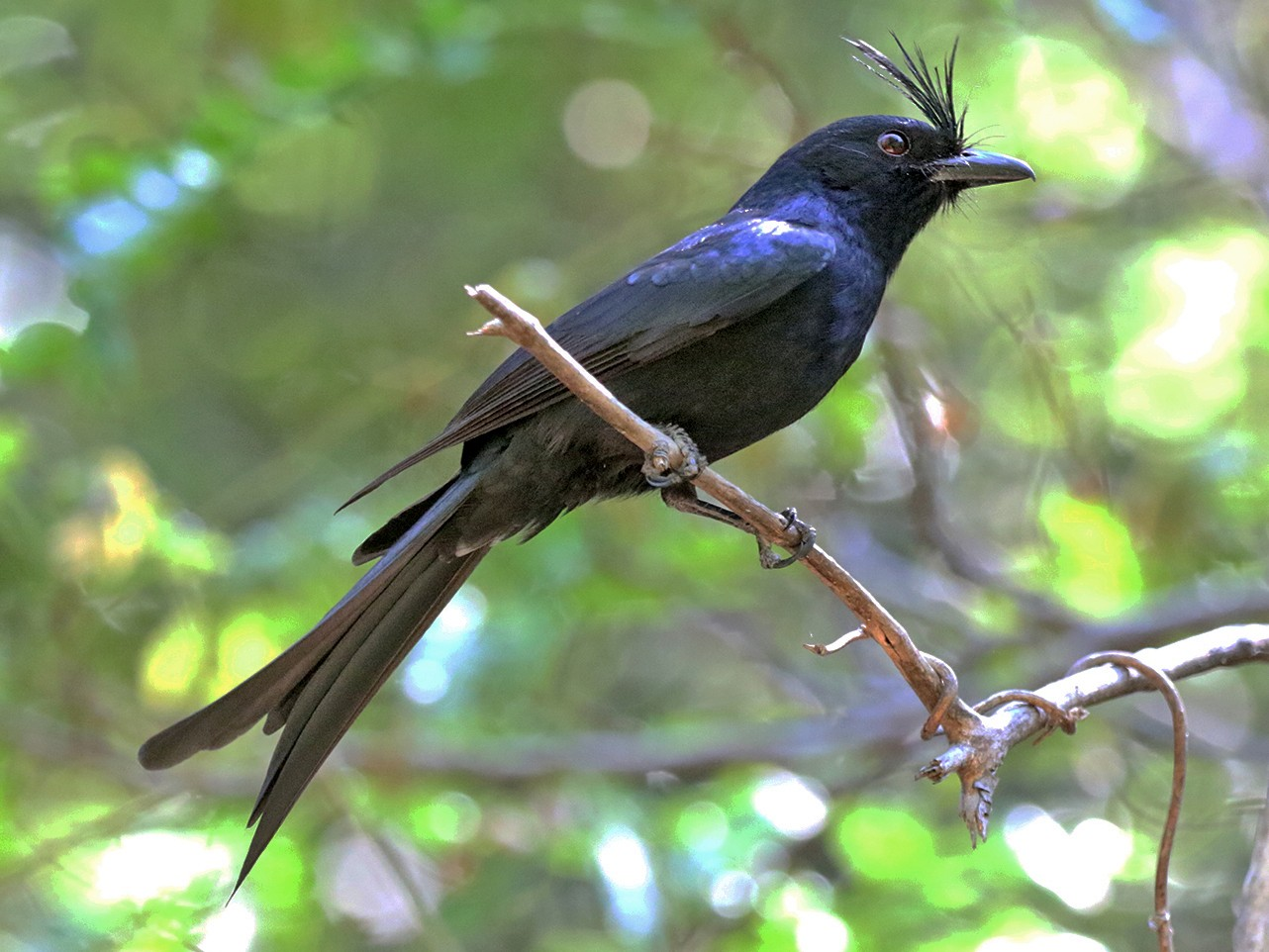 Crested Drongo - Charley Hesse TROPICAL BIRDING