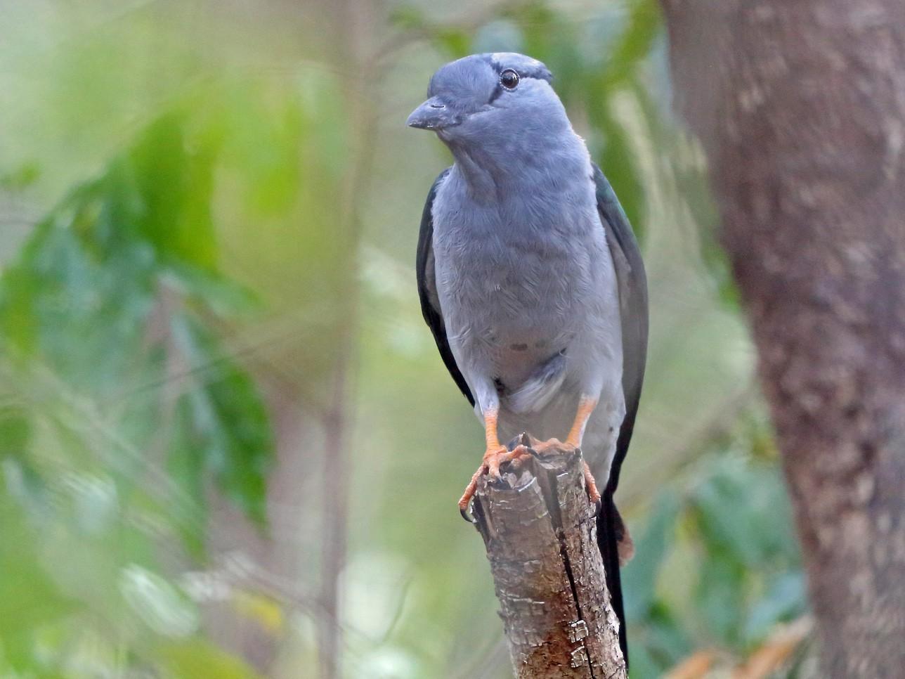 Cuckoo-roller - Nigel Voaden