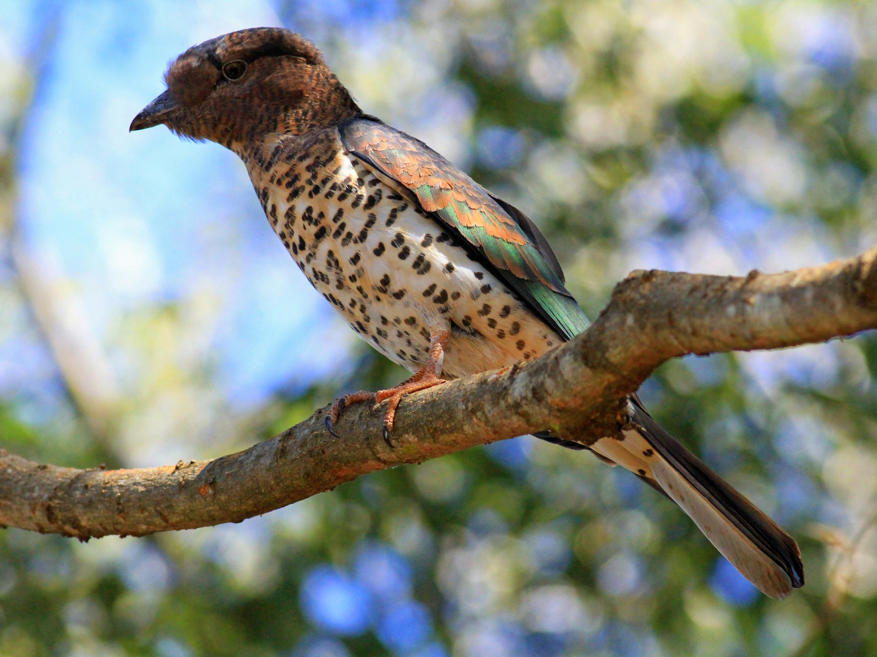 Cuckoo-roller - Darwin Mayhew