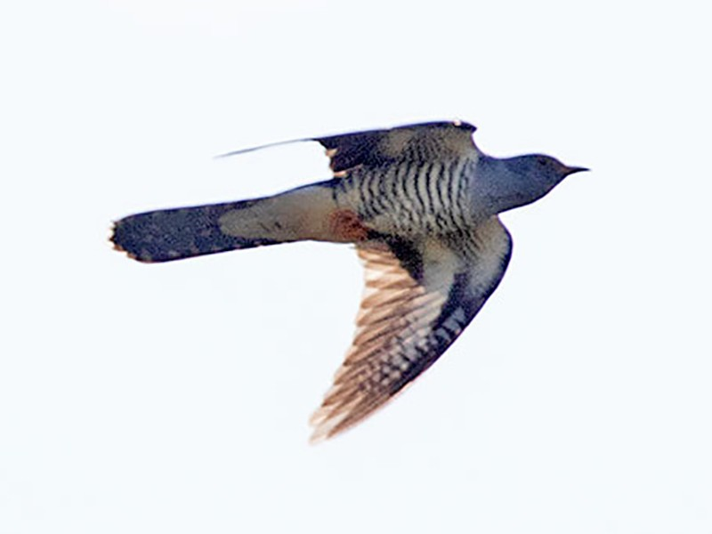 Madagascar Cuckoo - Arthur Grosset