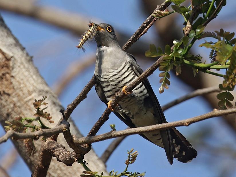 Madagascar Cuckoo - Charley Hesse TROPICAL BIRDING