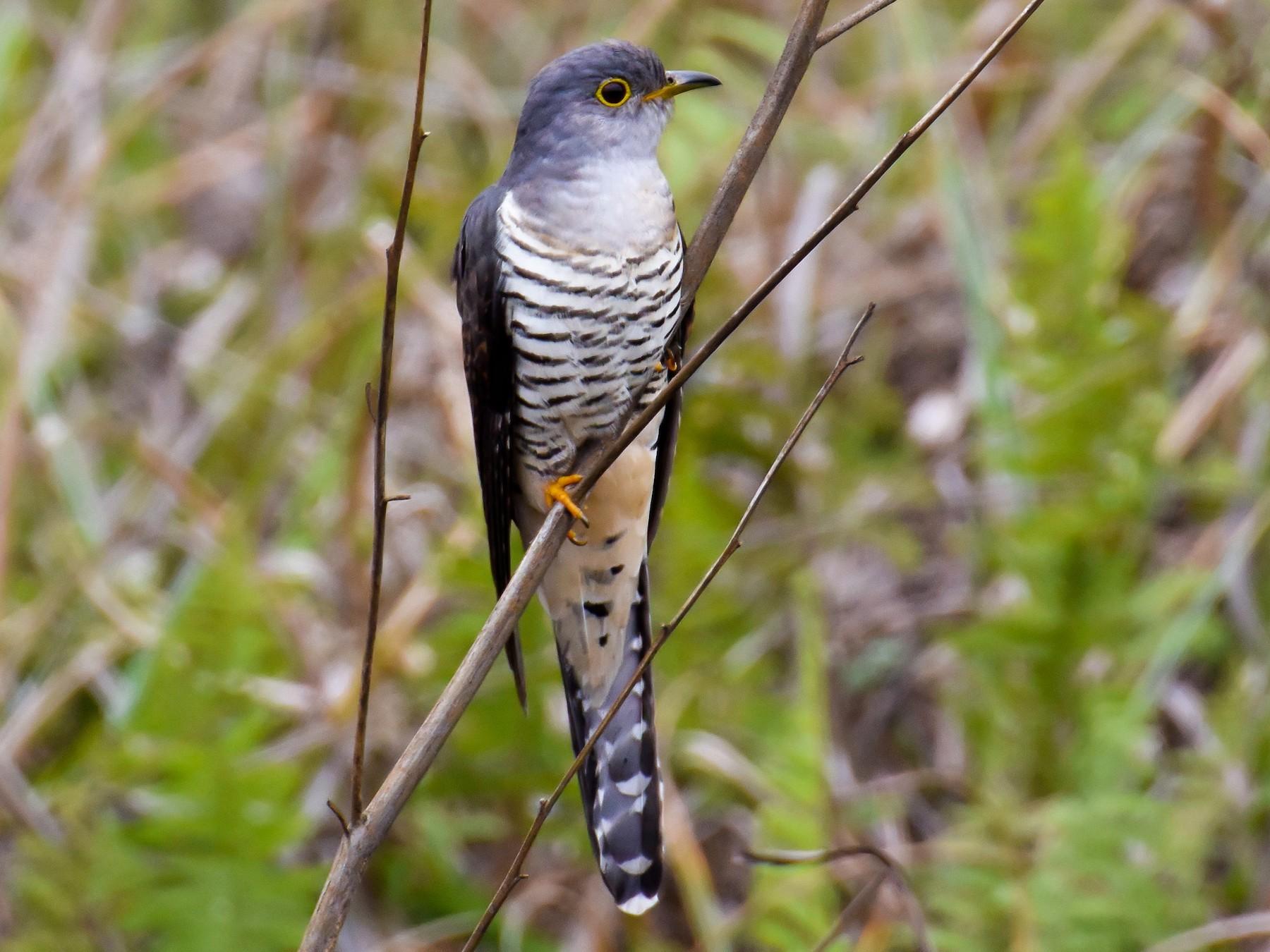 Madagascar Cuckoo - Giuseppe Citino